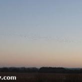 RSPB Ham Wall - Starlings