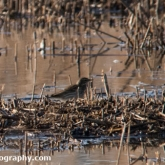 RSPB Ham Wall - Water Pipit