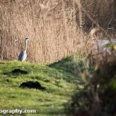 RSPB Ham Wall - Grey Heron