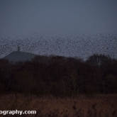 RSPB Ham Wall - Starlings