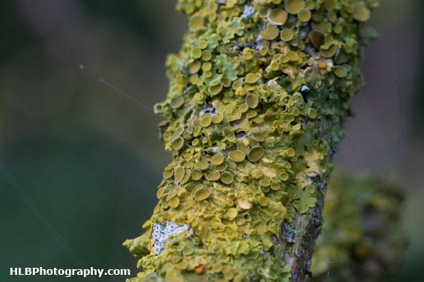 RSPB Ham Wall - Lichen