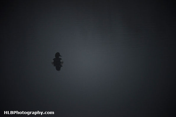 RSPB Ham Wall - Tufted duck