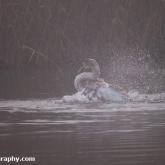 RSPB Ham Wall - Mute swan cygnet