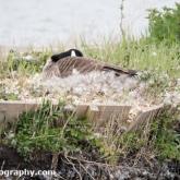 RSPB Lodmoor - Canada Goose