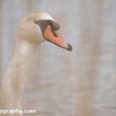 RSPB Lodmoor - Mute Swan