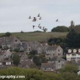 RSPB Lodmoor - Black-tailed Godwit