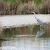 RSPB Lodmoor - Grey Heron