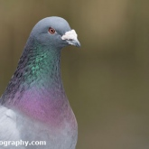 RSPB Radipole - Rock Dove