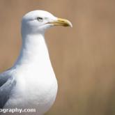 RSPB Radipole - Herring Gull