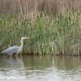 RSPB Radipole - Grey Heron