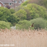 RSPB Radipole - Marsh Harrier