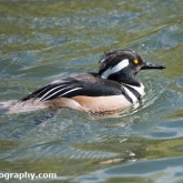 RSPB Radipole - Hooded Merganser