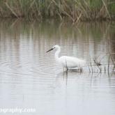 RSPB Radipole - Little Egret