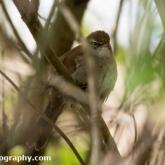RSPB Radipole - Cetti's Warbler