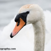 RSPB Radipole - Mute Swan