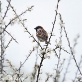 RSPB Radipole - House Sparrow