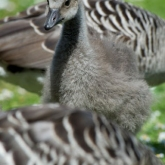 Hawaiian Goose or Nene