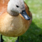 Cape Shelduck
