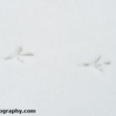 Pheasant snow tracks