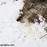 Rabbit snow tracks and burrow entrance
