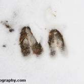 Roe deer snow tracks