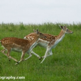 Fallow deer, Dyrham Park, Wiltshire