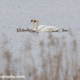 Mute Swan and Cygnets, Whelford Pools Nature Reserve