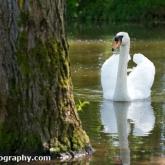 Mute Swan, Chew Valley Lake