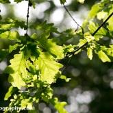 Oak Tree leaves in the sun