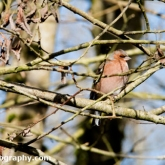 Chaffinch at Brown's Folly Nature Reserve, Avon