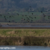 WWT Slimbridge - Lapwing