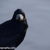 WWT Slimbridge - Rook