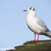 WWT Slimbridge - Black Headed Gull