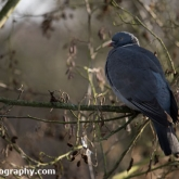 WWT Slimbridge - Woodpigeon