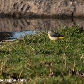 WWT Slimbridge - Grey Wagtail