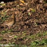 WWT Slimbridge - Song Thrush
