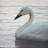 WWT Slimbridge - Bewick's Swan