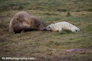 Grey Seals at Donna Nook Nature Reserve, Lincolnshire - New born