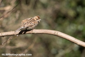 The Wildlife Trusts - Lower Moor Farm - Reed Bunting (Female)
