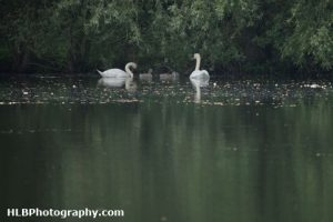 Lower Moor Farm Nature Reserve - Mute Swan